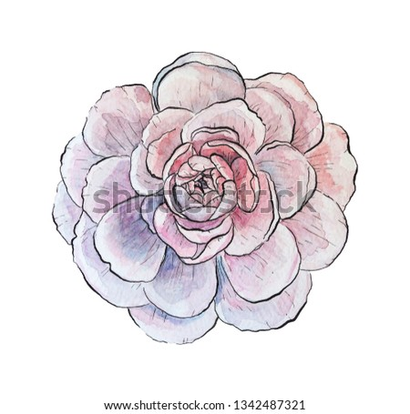watercolor illustration pink lilac peony rose flower isolated