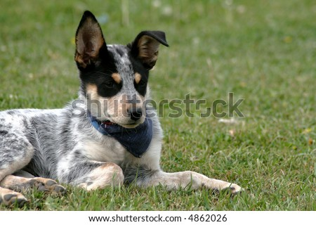 heeler mix dog. Bull Terrier/Heeler Mix Needs