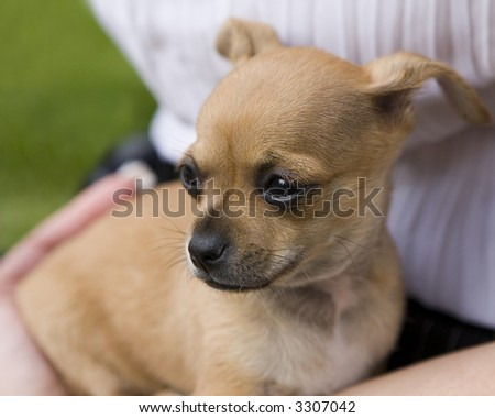 7-Week-Old Chihuahua Puppy on Owners Lap (focus on near eye)