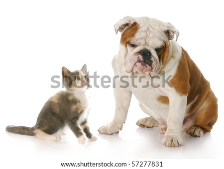 8 week old kitten looking up at 8 month old english bulldog puppy with reflection on white background - stock photo