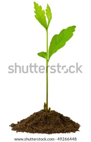 3-week seedling oak, isolated on white