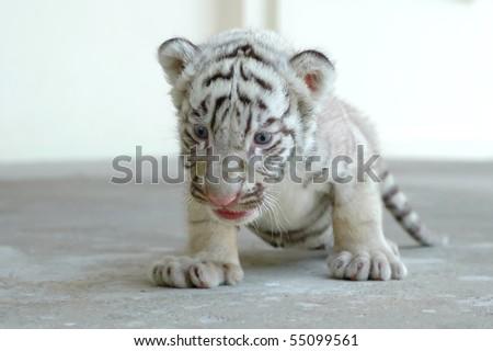 3 week white tiger