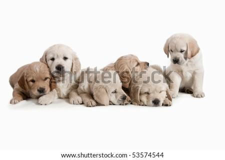 6 weeks old, adorable and curious Golden Retriever puppies.
