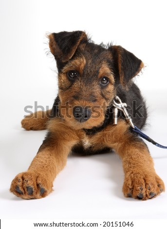 Airedale Puppies on Weeks Old Airedale Terrier Puppy Dog Stock Photo 20151046