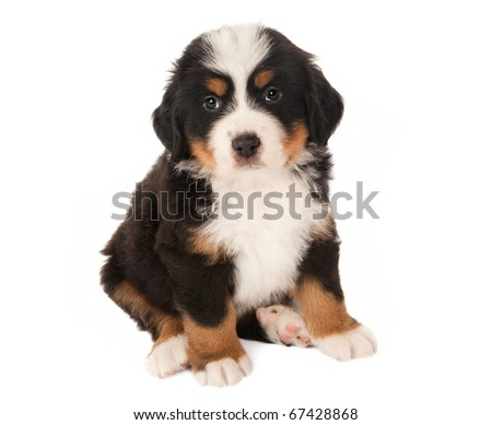 6 weeks old Bernese mountain dog puppy isolated on white - stock photo