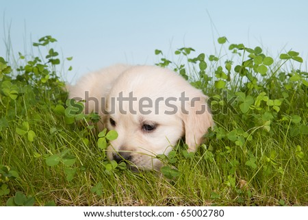 6 weeks old golden retriever puppy lonely in the garden