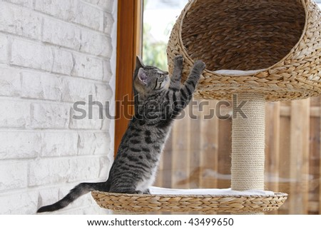 10weeks old kitten playing on cat tree