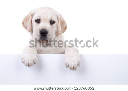 6 weeks old Labrador retriever puppy above banner or sign, isolated on white