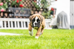 8 weeks young purebred golden puppy german boxer dog