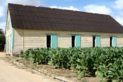 Welcome to the tobacco farms of Viñales, the smells of dried tobacco leaves help you find your way to buy good Cuban cigars. It's here.