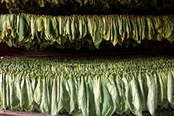 Welcome to the tobacco farms of Vinales, the smells of dried tobacco leaves help you find your way to find good Cuban cigars. It's here.