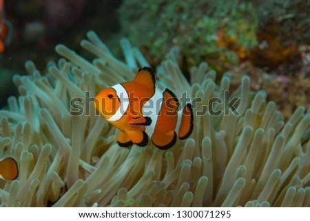 Western Anemonefish Amphiprion ocellaris #1300071295