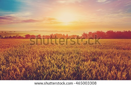 Wheat field and foggy morning meadow on the background small depth of field.  Copy space installation of sunlight on the horizon. majestic rural landscape. instagram toning effect, soft filter. #465003308