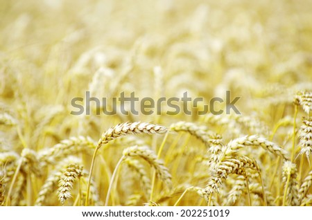 wheat field in summer #202251019