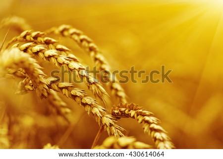 Wheat field on sun.  #430614064