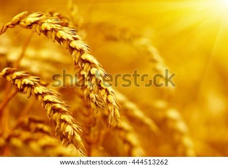 Wheat field on sun.  #444513262