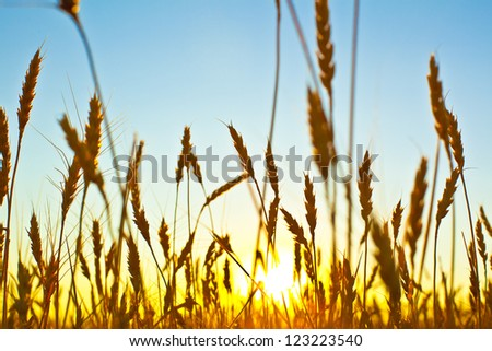Wheat field on sunset against deep blue sky, close up