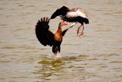 2 Whistling ducks having a spat