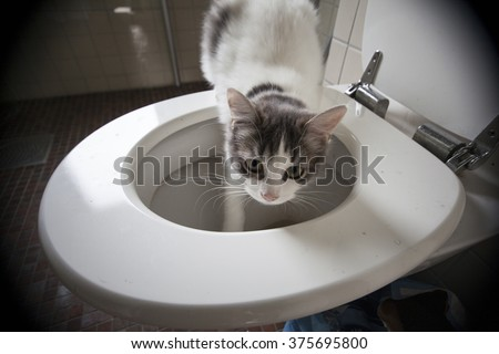 White and grey cat drinking in the toilet bowl in a bathroom