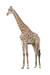 White background A giraffe standing on the grass