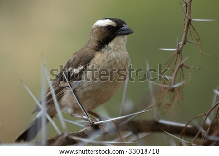 White-browed Sparrow-weaver  male (Plocepasser mahali), Mountain    zebra National Park, South Africa