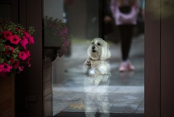 white dog behind a glass door, asks outside. brown background