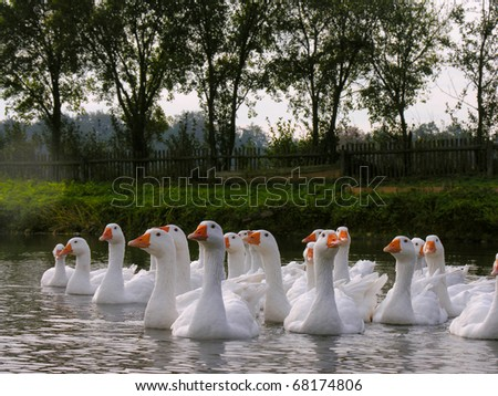 white domestic geese in a pond