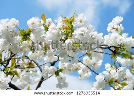 White Flowers with blue sky background.White cherry blossom.Cherry blossom in copenhagen,denmark.Flowers art for background.Beautiful cherry blossom. Cherry blossom in spring.Isolated flower.  #1276935514