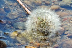 white fluffy dandelion in river water on a rocky bottom, natural background  . Fluffy texture of white dandelion flower closeup. Fragility concept