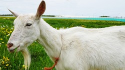 White goat lies on a field with yellow, white dandelions and green grass, looking at the camera, large image