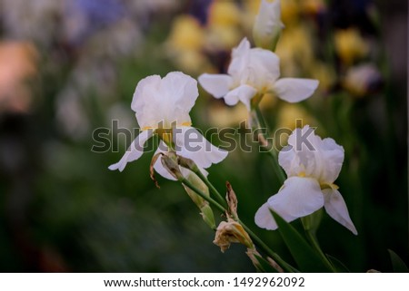White iris flower blooms in summer on flowerbed. White irises bloom.
