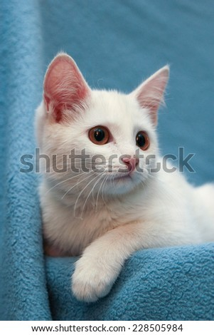 white kitten on a blue background, white cat, white cat, breed And, white kitten, white kitten with yellow eyes, Pets, cozy house