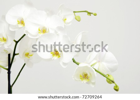white orchids flower