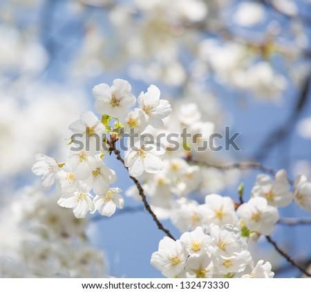 white oriental cherry
