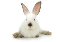 white rabbit on a white background