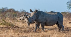 White Rhino cow with calf standing in dry grass vegetation in the Kruger National Park, South Africa