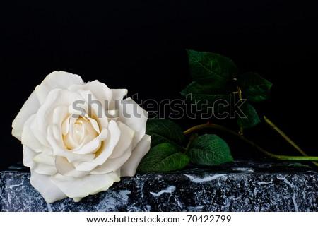 ,white rose,
