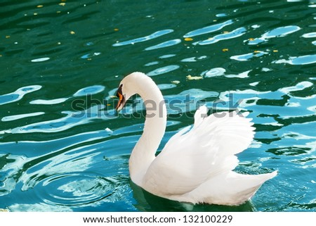 white swan floats on blue water