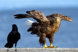 White-tailed eagle and raven. Scientific name: Haliaeetus albcilla.