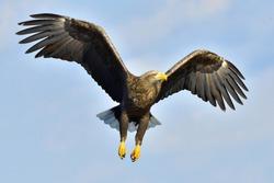White-tailed eagle in flight,  fishing. Adult white-tailed eagle (Haliaeetus albicilla), also known as the ern, erne, gray eagle, Eurasian sea eagle and white-tailed sea-eagle.