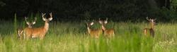 5 white tailed - Odocoileus virginianus clavium deer bucks standing in an open meadow in north Florida