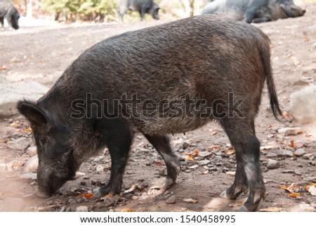 Wild boar. Wild pig. Wild boar digs the ground. #1540458995