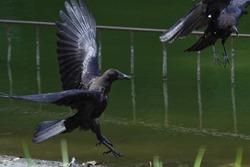 wild crow is in flight
