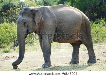Wild female elephant (lephus maximus vilaliya). Safari in a National Park Yala, Sri Lanka