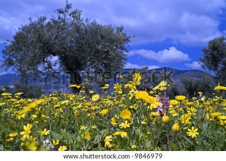 wild flowers in olive grove in the Galilee, Israel