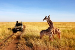 Wild giraffes in african savannah. Tanzania. National park Serengeti.