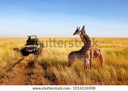 Wild giraffes in african savannah. Tanzania. National park Serengeti.