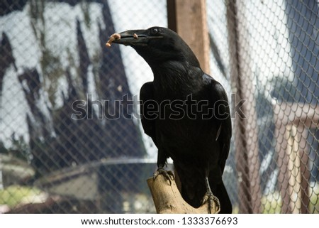 Wild raven in the zoo #1333376693
