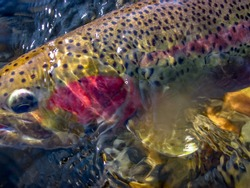 wild steelhead trout in Idaho                  abstract