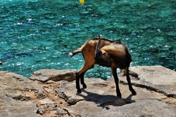 Wild tamed goat is looking and walking on the rock next to the turquoise sea water in Cala Figuera, Formentor, Mallorca, Spain